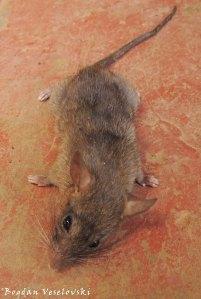 Mbewa (mouse)