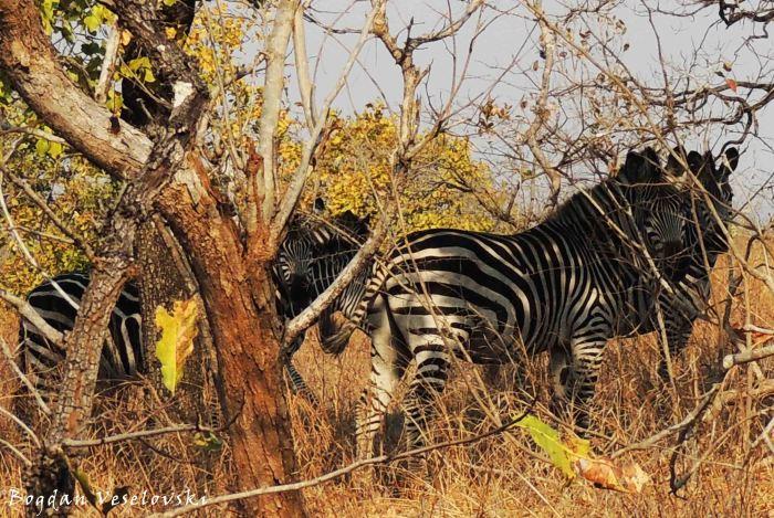 Mbidzi (zebras. equus burchelli)