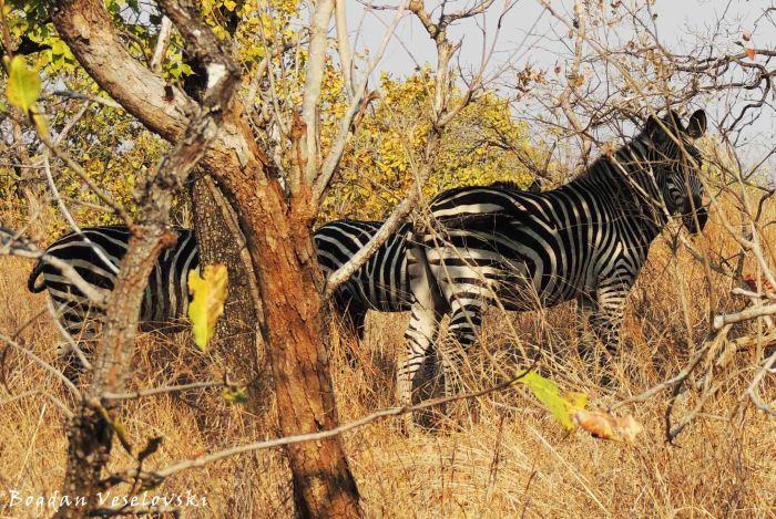 Mbidzi (zebras)