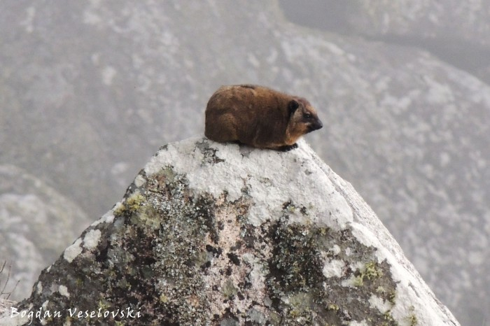 Mbira (rock hyrax in Mulanje)