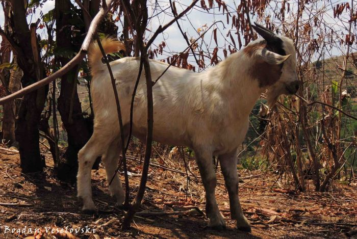 Mbuzi (billy goat)