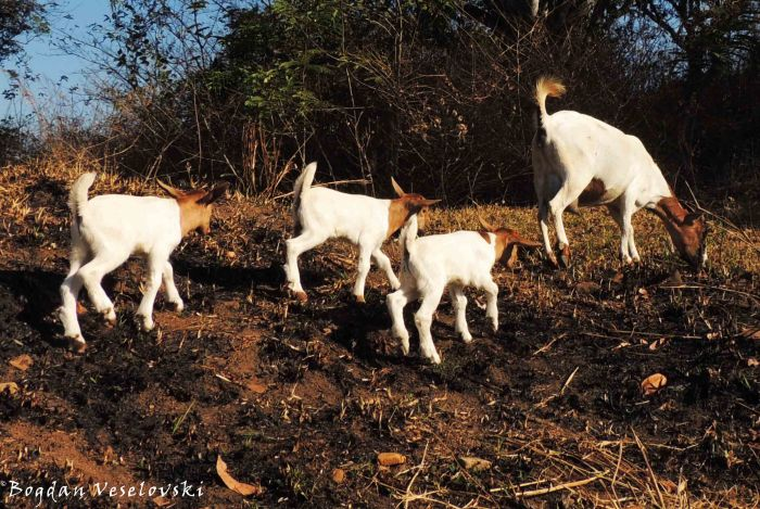 Mbuzi (female goat & kids)