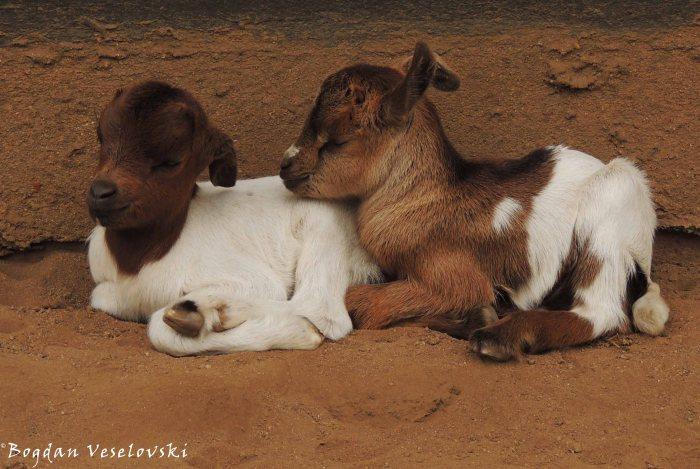 Mbuzi (goat kids)