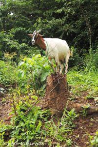 Mbuzi (goat)