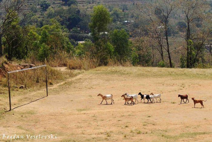 Mbuzi (goats)