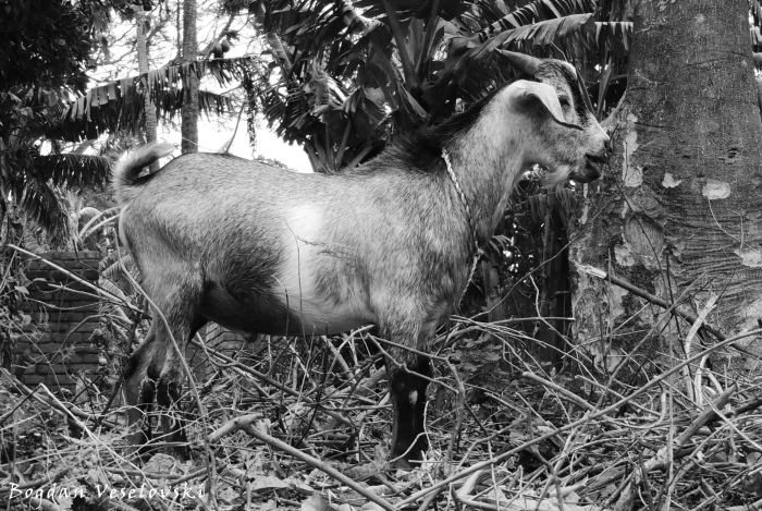 Mbuzi (young billy goat)