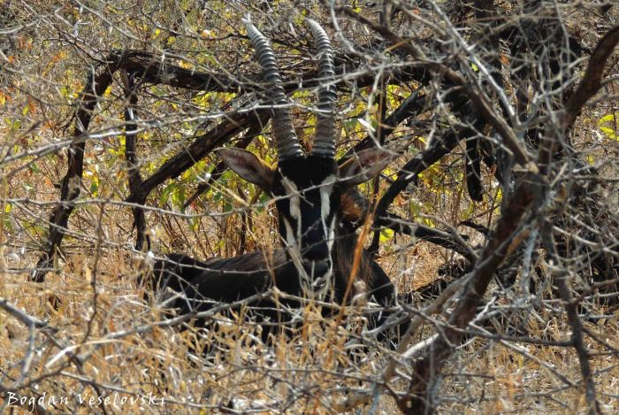 Mhalapala (sable antelope. hippotragus niger)
