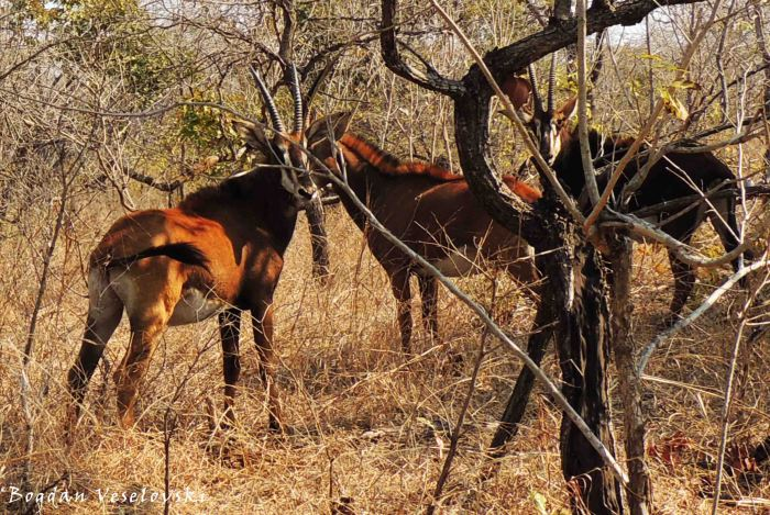 Mhalapala (sable antelopes - females)
