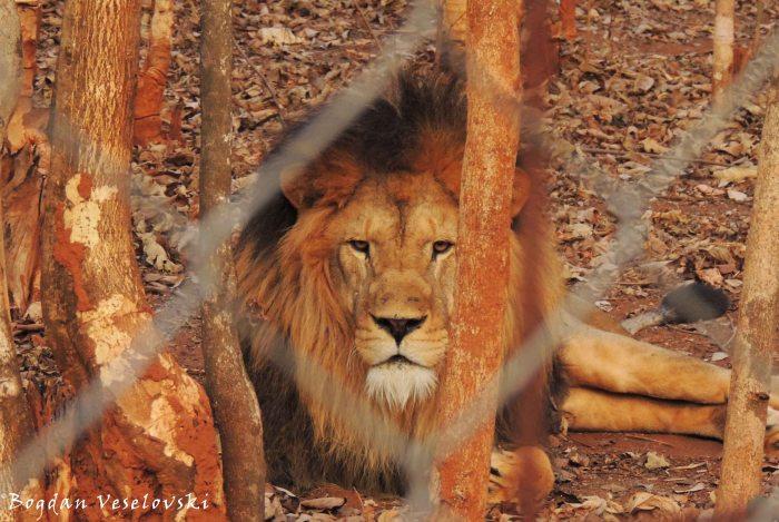 Mkango (lion)