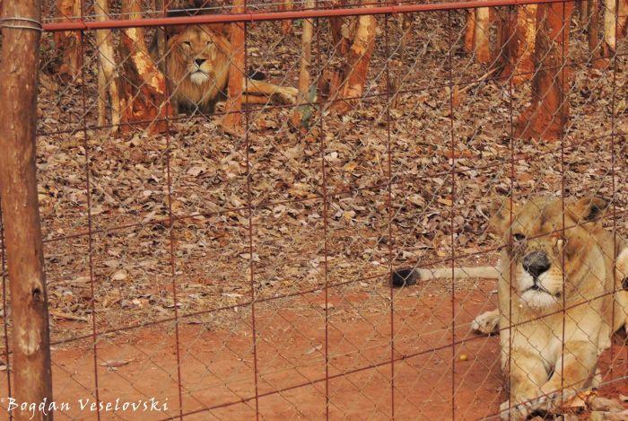 Mkango (lions)
