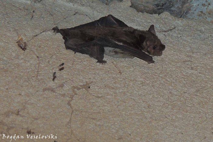 Mleme (bat)