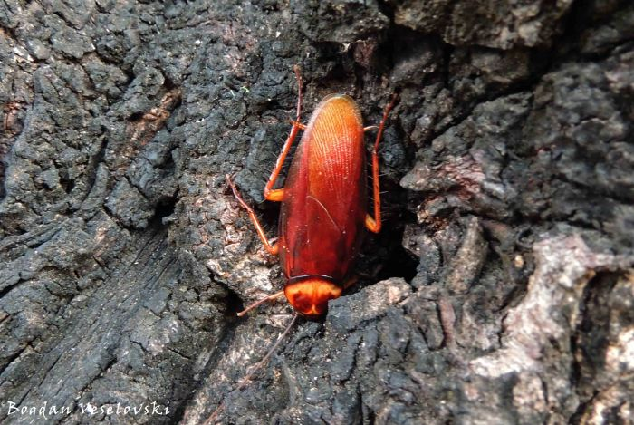 Mphemvu (cockroach)