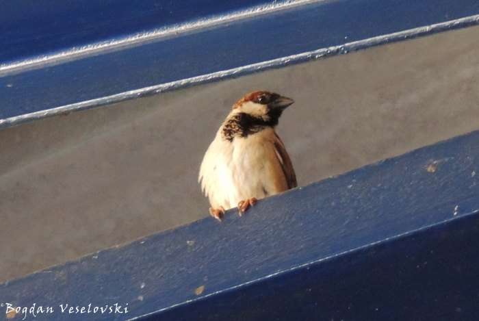 Mpheta (house sparrow)