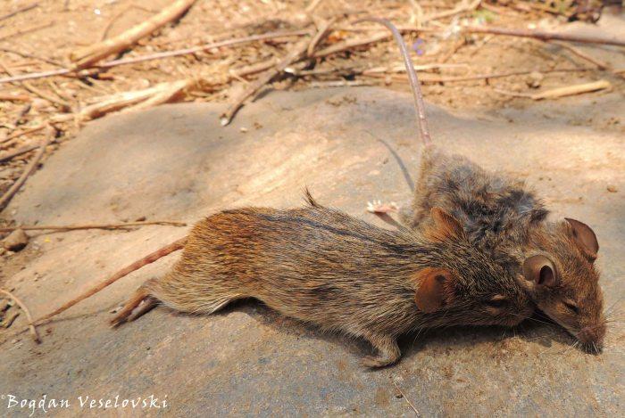 Mphoni & mbewa (mice)
