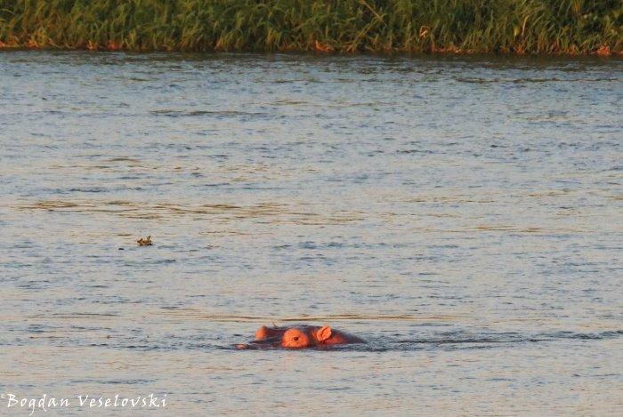 Mvuu (hippo in Nsanje)