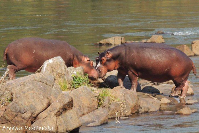 Mvuu (hippo kiss)