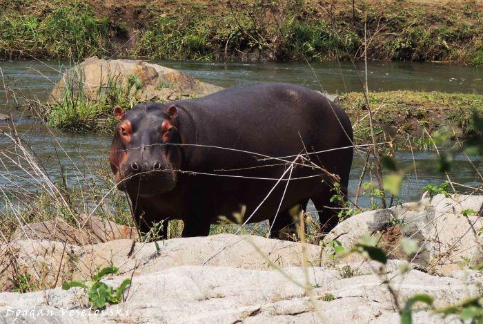 Mvuu (hippo)