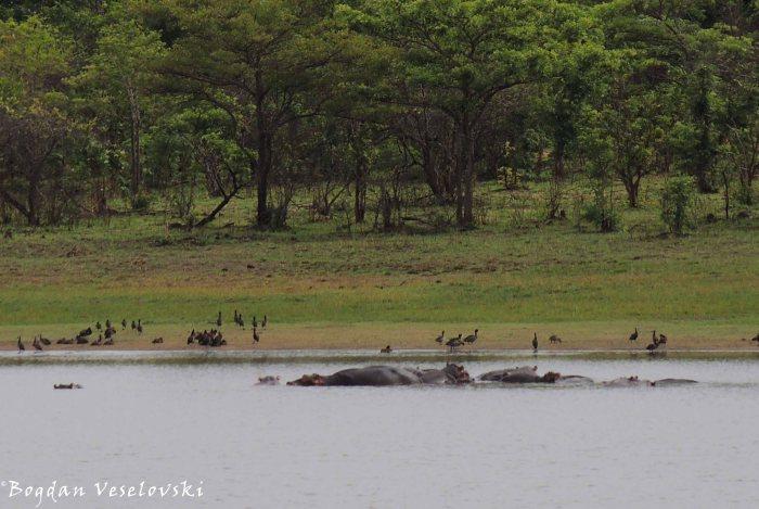 Mvuu (hippos)