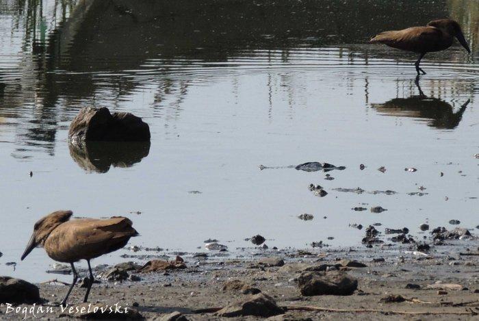 Nantchengwa (hammerkop / hammerhead stork in Lake Chilwa)