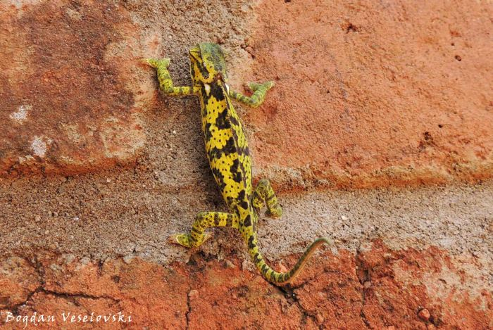 Nanzikambe (chameleon)