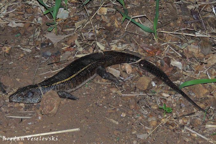 Ng'anzi (monitor lizard)