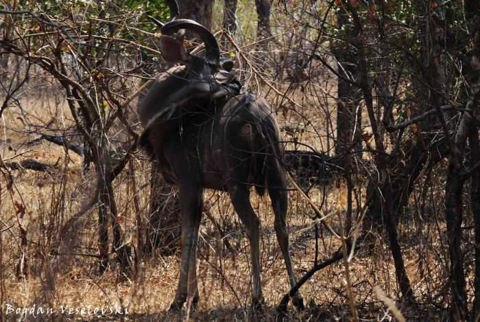 Ngoma (greater kudu - beauty time)