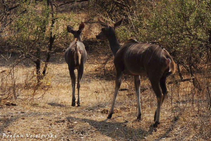 Ngoma (greater kudu - females)