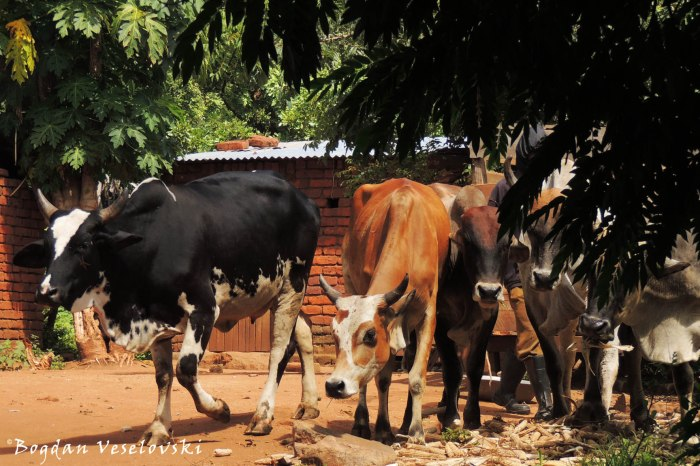 Ng'ombe (cattle)