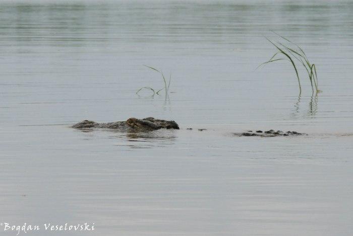 Ng'ona (crocodile)