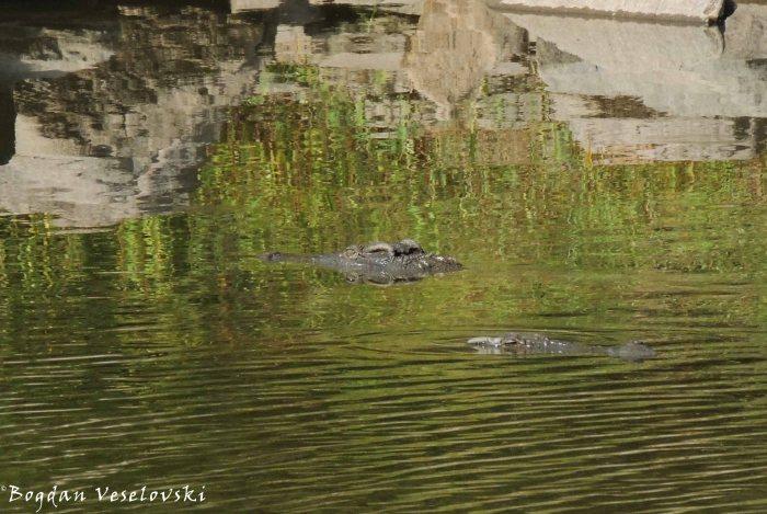 Ng'ona (crocodiles)