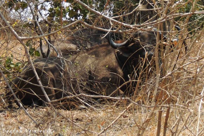 Njati (buffalo)