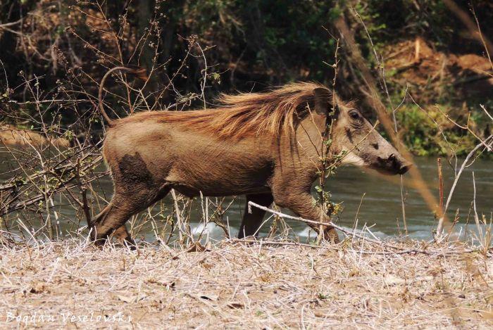 Njiri (warthog)