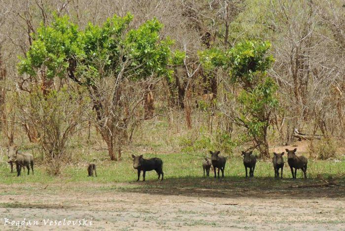 Njiri (warthogs)