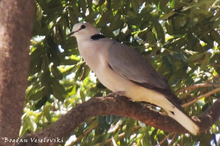 Njiwa (wild pigeon)