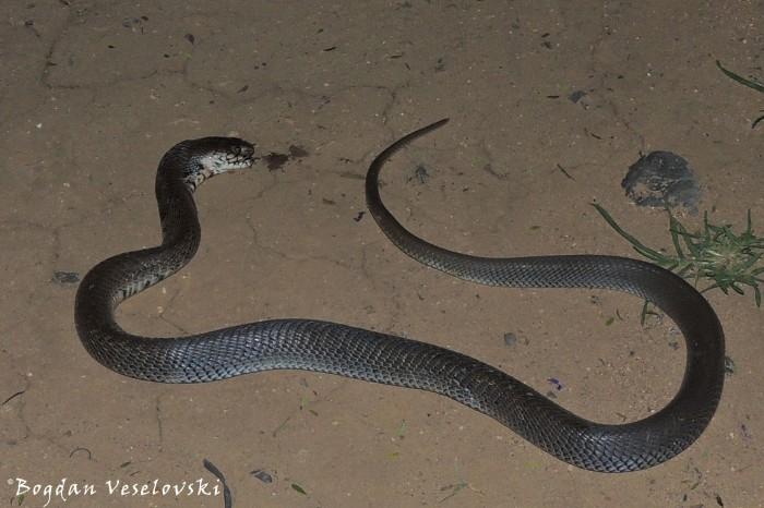 Njoka (cobra)