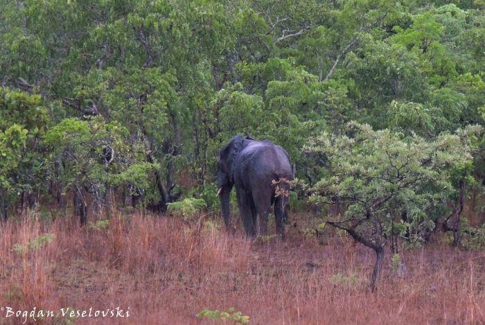 Njovu (elephant)