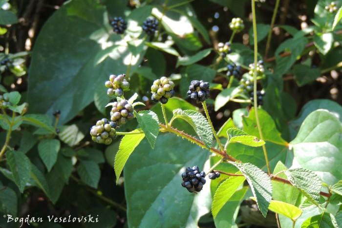 Nkanda nkhuku ~ Scratch the chicken (tickberries. fruits of Lantana camara)