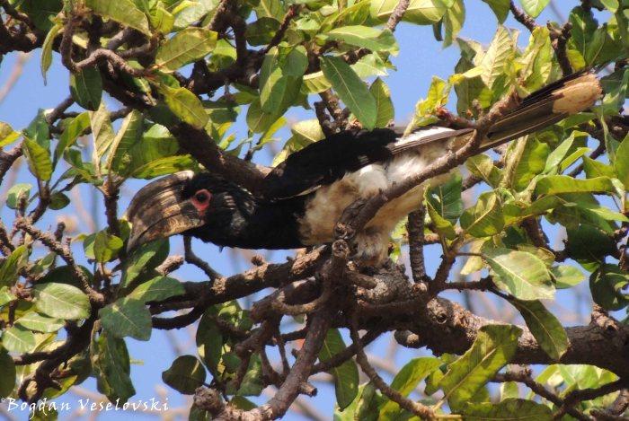 Nkhakamira (Trumpeter Hornbill in Lake Chilwa)