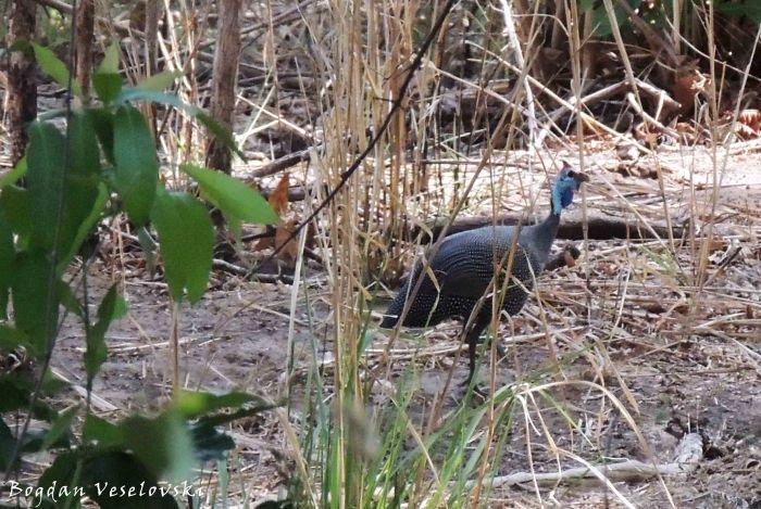 Nkhanga (guinea fowl)