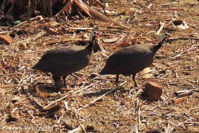 Nkhanga (guinea fowls)