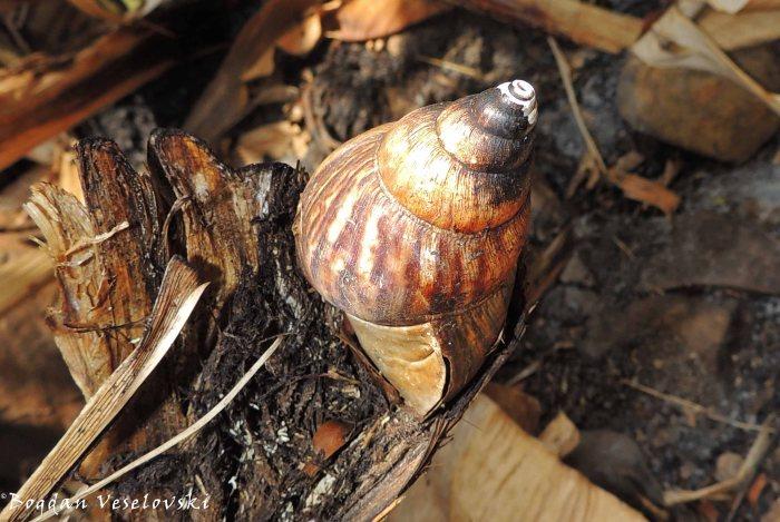 Nkhono (snail)