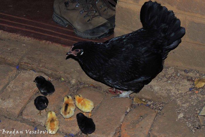 Nkhuku & anapiye (hen & chickens)