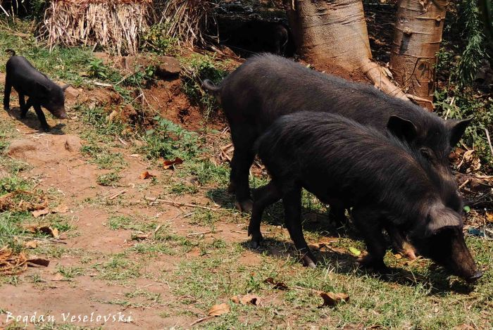 Nkhumba (pig family)