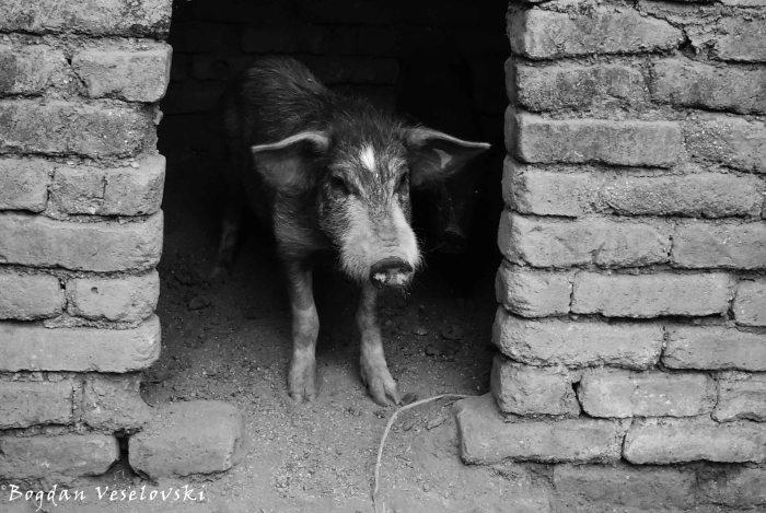 Nkhumba (pigs)