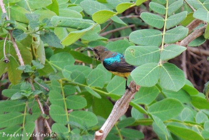 Nsodo (sunbird)