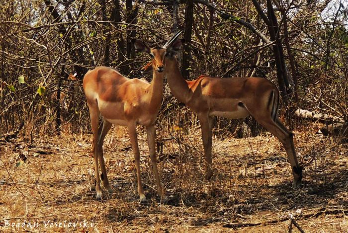 Nswala (impala - young couple)