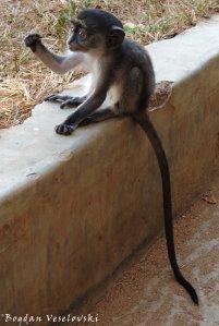 Ntchima (blue monkey)