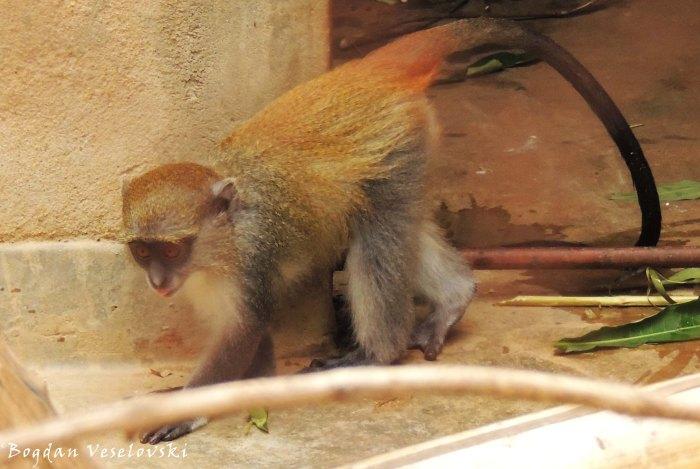 Ntchima (blue monkey - baby male - Nkhwinkwi)