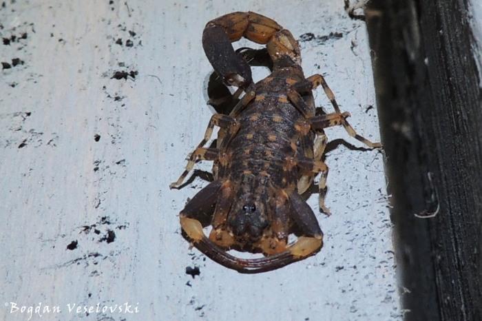 Pheterere (scorpion)