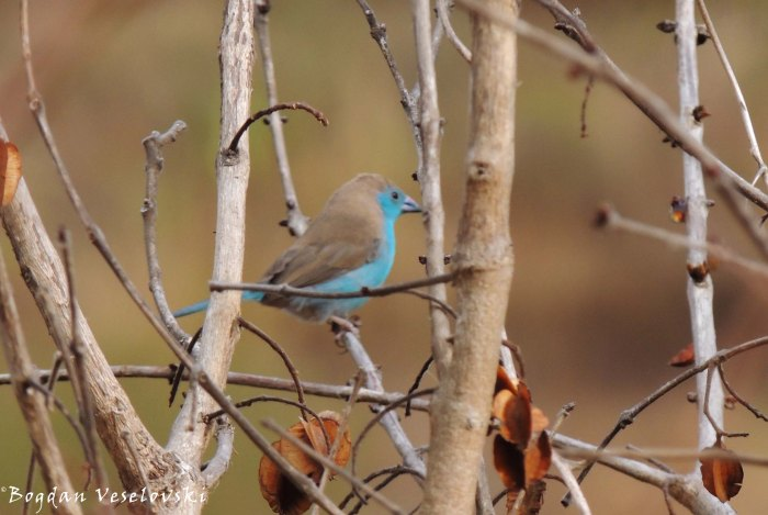 Phwiti (blue waxbill - male)